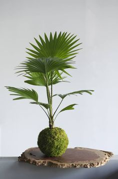 Kokedama Palm. This one is no good for hanging as it is too top heavy.