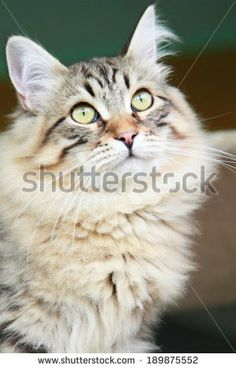 brown kitten of siberian breed at six months, new on @Shutterstock