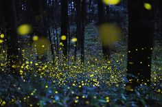 Creatures of Light - Tsuneaki Hiramatsu,  spent hours making long exposures of the insects in the woods and along a river near Okayama City.