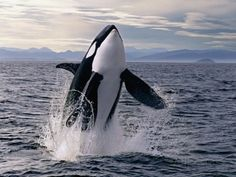 Breaching Killer Whale Lámina fotográfica por Tom Brakefield en AllPosters.es