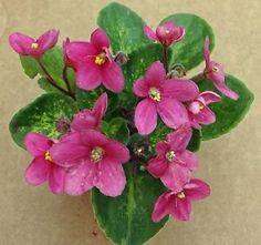 African Violet Mac's Coral Carillon Semi Miniature Plant in Pot | eBay