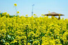 Mini en Monde: Guri Hangang Park Seoul Rapeseed Flower Festival 2...