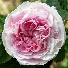 Rosa 'Félicité Parmentier' (Belgium, before 1836) Light pink, white edges ages to cream with a strong fragrance. Once blooming in spring or summer.