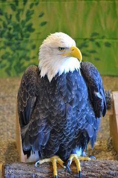 Travelin' Man: Bald Eagle