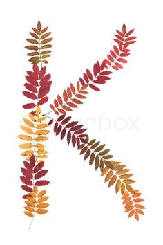 Image of 'Letter of the alphabet K put from sheet of rowanberry on white background'