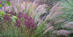 Calamagrostis brachytricha, siergras