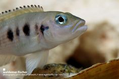 Cichlid Photography by Waldemar Fischer: Neolamprologus hecqui