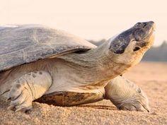 Kura-kura menggunakan suara untuk merawat muda
