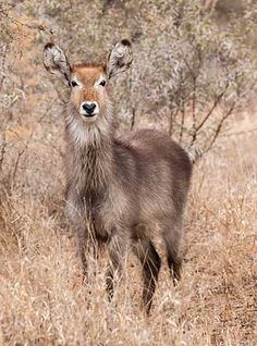 Waterbuck female in winter vegetation, Kruger National Park Kruger National Park, Pictures Online, Winter Photos, Oh Deer, All Gods Creatures, Africa Travel, Beautiful Creatures, Adventure Travel, South Africa