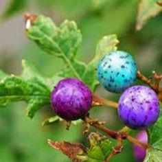 Porcelain Vine (Ampelopis) for the magical coloured berries, like speckled eggs.