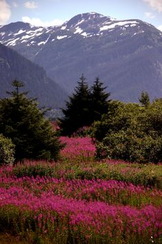 Fireweed in Juneau, Alaska (My first favorite flower)