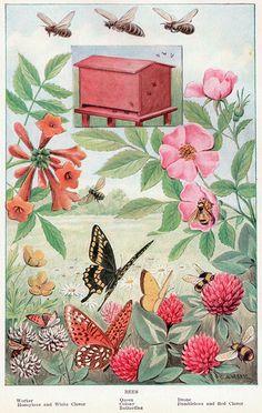 Bees, Butterflies, flowers (clover, roses, etc.) ~ public domain image, 1917.