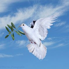 The dove is a symbol of confirmation that represents the holy spirit. As you can see, the dove is holding an olive branch, this represents peace and freedom. Dove With Olive Branch, Dove And Olive, Peace Pigeon, Jesus Is My Friend, Dove Bird, Saint Esprit, Turtle Dove, God Will Provide, Peace Dove