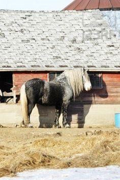 my dream horse, a Percheron