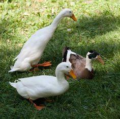 Indian Runner Duck
