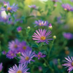 Aster - Plant Encyclopedia - BHG.com 'Wonder of Staffa' aster Aster x frikartii 'Wonder of Staffa' is similar to 'Monch', but grows 28 inches tall and has paler blue blooms. Zones 5-8. Will grow in clay soil.