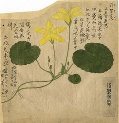Yellow Water Lily: Chinese watercolour on paper, ca. 1870.