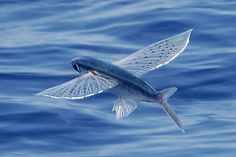 The Flying Fish Species Exocoetidae The flying... — Scoop of Saltwater