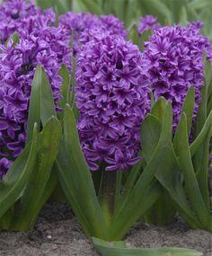 Hyacinthus orientalis Miss Saigon - Hyacinthus orientalis - Hyacinths - Flower Bulbs Index