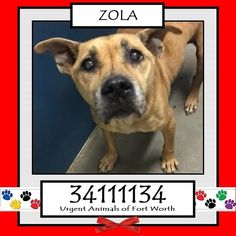 TO BE DESTROYED 04/24/17 ***REASON: MEDICAL*** ZOLA - 6 years old - Terrier Mix - 34111134 - Heartworm Positive, Upper Respiratory Infection - #34111134 - FOR MORE PICS, VIDEOS & INFO: http://www.dogsindanger.com/dog/1482081572695