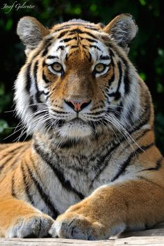 Majestic Look by Josef Gelernter - Photo 44691172 / Wild Animal Wallpaper, Tiger Wallpaper, Tiger Art, Pet Tiger, Cute Cats And Kittens, Big Cats, Beautiful Cats, Animals Beautiful, Tiger Pictures