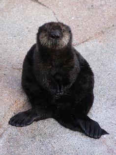Monterey Bay Aquarium, Otter Pup on Exhibit! Cuteness alert! A rescued...