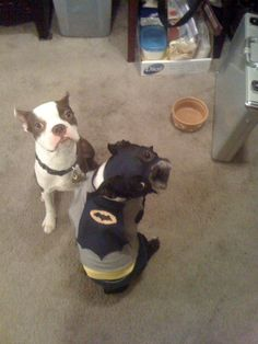 Let's go fight some crime! Repinned: I'm Batman. Homemade costume credit me and the hubs. #bostonterrier via @DrKatherineC