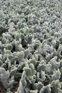 opuntia microdasys world | Flickr - Photo Sharing! #cactus #opuntia