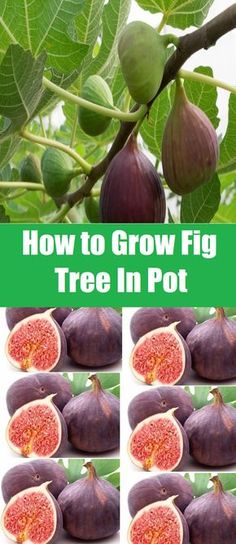 How to Grow Fig Tree In A Pot