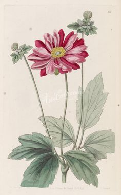 Anemone scabiosa H. & Vaniot [as Anemone japonica (Thunb.] Edwards's Botanical Register, vol. Botanical Drawings, Botanical Illustration, Botanical Prints, Leaf Drawing, Flower Art, Art Flowers, Pink Flowers, Vintage Prints, Vintage Art