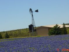 TX Blue Bonnets