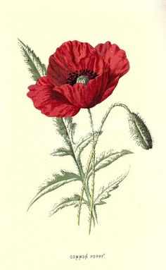 Common Poppy Plate from Familiar Wild Flowers by F Edward Hulme Published 1878 by Cassell Petter Galpin Botanical Drawings, Botanical Prints, Botanical Gardens, Red Poppies, Red Flowers, Flowers Garden, Exotic Flowers, Ceramic Poppies, Floral Illustration