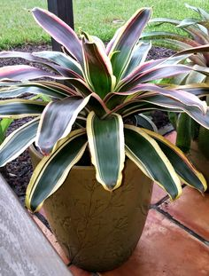 Neoregelia Raphael (side view). We have this new addition potted on our patio so we can enjoy its incredible coloration! It's rich colors makes me think of Maui and the wondrous tropical gardens I had the pleasure of experiencing.