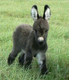 Black baby donkey