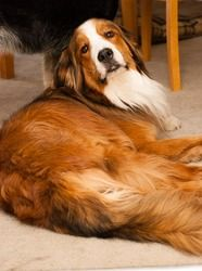 Rex is an adoptable Great Pyrenees Dog in Aurora, CO.  I'm Rex the Great Pyrenees/Bernese Mountain Dog Mix and I'm looking for a new home to call my own. I'm a 4 year old, Red & White male and I've fo...