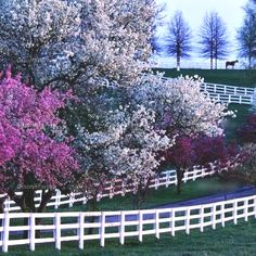 Lexington, Kentucky on a horse farm. This looks like a spring morning to me because the trees are in full bloom! So pretty and bright! it looks to be early spring because of the dewy background near the horse seems to be blurred. Why weren't there horses near by? Why only one?