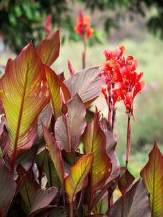 The canna is the perfect plant to bring some tropical color and foliage to your yard: http://www.bhg.com/gardening/flowers/bulbs/summer-bulbs/?socsrc=bhgpin021915canna&page=5