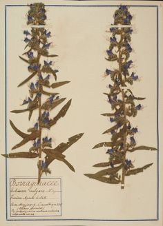 Erbario Fabani - Echium vulgare