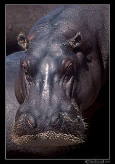 Close up of a hippo in Zimbabwe.