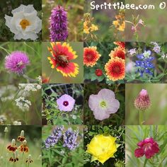 Central Texas Wildflowers - by name