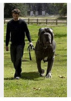 The 10 largest Dog Breeds, Breed#1 out of 6. I am going to need to know this because I LOVEEE huge dogs.