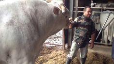 Italian Chianina Bull - Toro Chianino [1/3]