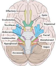Cranial