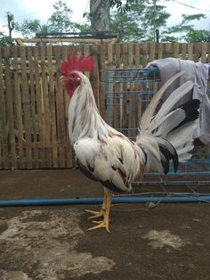 Game Fowl, Chicken Breeds, Chickens Backyard, Hens, Rooster, Tattoo Ideas, World, Rooster Tattoo, Chickens And Roosters