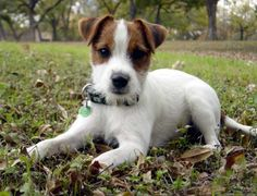The Jack Russell Terrier Choice picture gallery contains hundreds of pictures selected by our staff as the best of the best Parson Jack Russell, Jack Russell Puppies, Parson Russell Terrier, Jack Russell Terriers, Cute Puppies, Dogs And Puppies, Cute Dogs, Doggies, Scottish Terrier Puppy