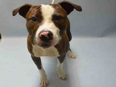 **SICK**- TO BE DESTROYED - 07/22/16 - **PUPPY ALERT** - DIESEL - #A1081373 - Urgent Manhattan - MALE CHOCOLATE/WHITE AM PIT BULL TER MIX, 9 Mos - OWNER SUR - EVALUATE, NO HOLD Reason LLORDPRIVA - Intake 07/15/16 Due Out 07/15/16 - 07/17 CIRDC, DOXY, ISO