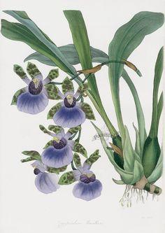 Zygopetalon Orchid. Joseph Paxton Orchid Prints 1834