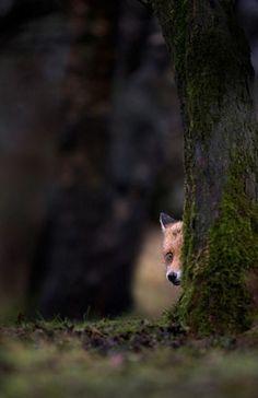 ladoescurodalua:    Shy Fox