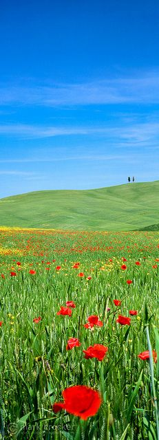 Tuscany Poppies, Italy I would love to see the poppy fields in real life. just stunning i am sure.
