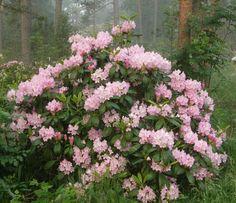 backyard design – Gardening Tips Backyard, Garden Landscaping, Home And Garden, Garden Inspiration, Plants, Rhododendron, Gardening Tips, Outdoor Gardens, Flowers